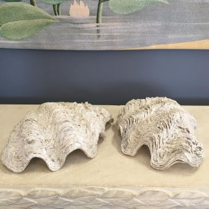 Pair of Tridacna Shells